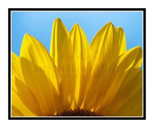 Yellow Sunflower Detail in a Garden 1817