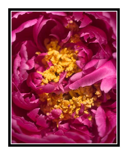 Fuchsia Peony Flower Detail 2449