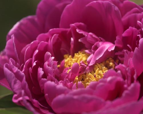 Fuchsia Peony Flower Detail 2450
