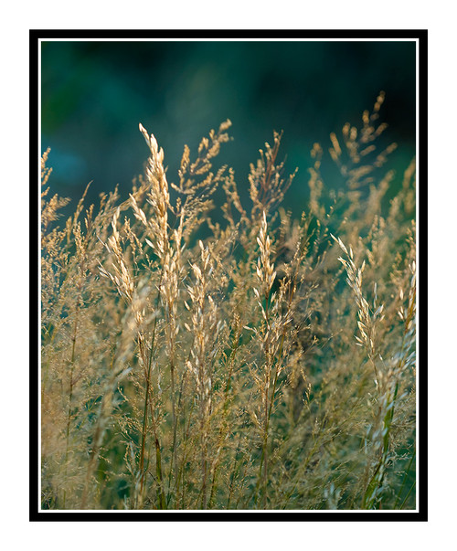 Grass Back Lit Against a Green Background 1067
