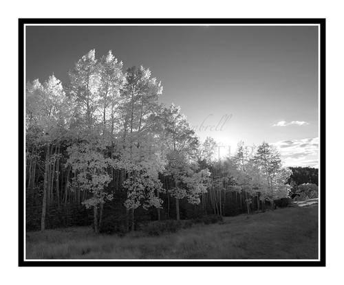 Aspens in Autumn Mueller State Park, Colorado 2515 B&W
