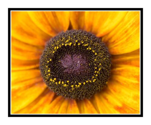 Yellow Sunflower Detail in a Garden 2621