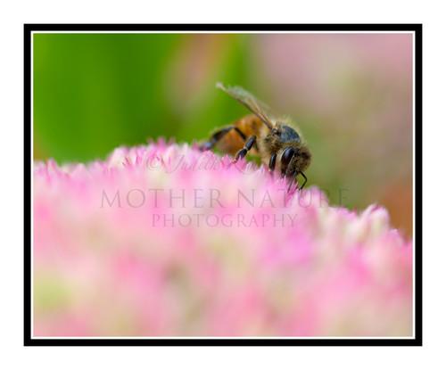 Honey Bee on a Pink Sedum Stonecrop Flower in a Garden 2629