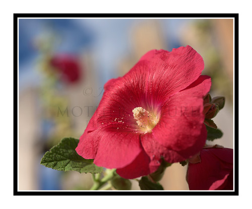 Red Hollyhock Flower Detail Against a Fence 2653