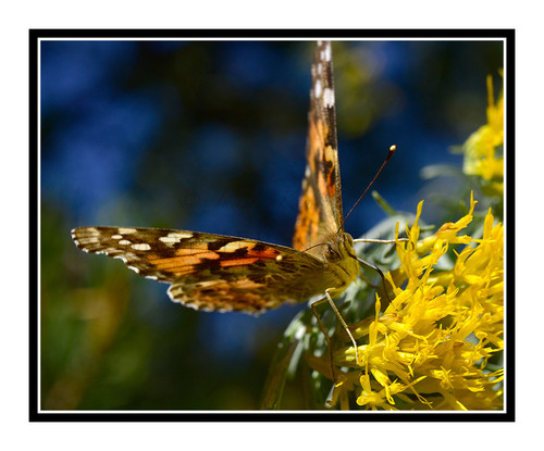Painted Lady Butterfly on Yellow Flowers 2710