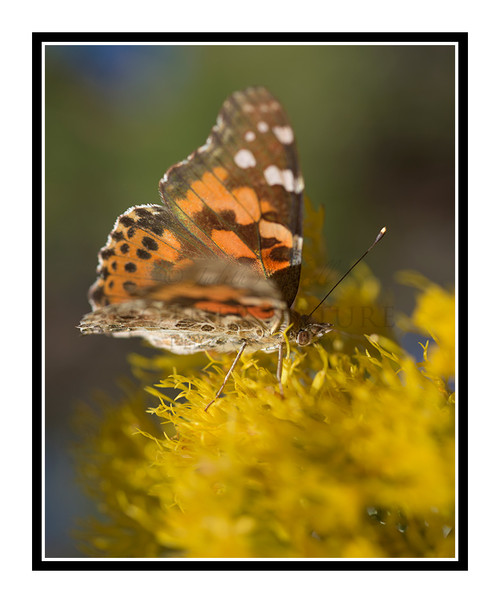 Painted Lady Butterfly on Yellow Flowers 2723