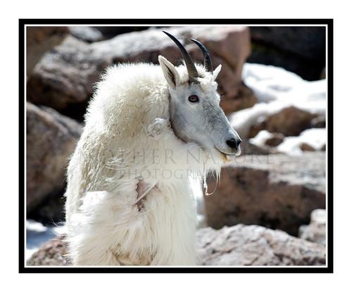 Mountain Goats at Mt. Evans, Colorado 1509