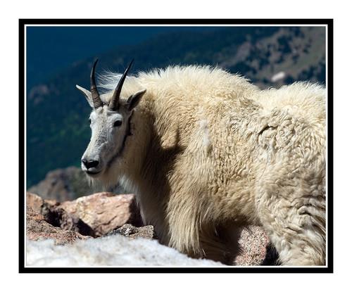 Mountain Goats at Mt. Evans, Colorado 1502