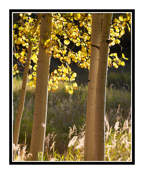 Golden Autumn Aspens in Woodland Park, Colorado 2840