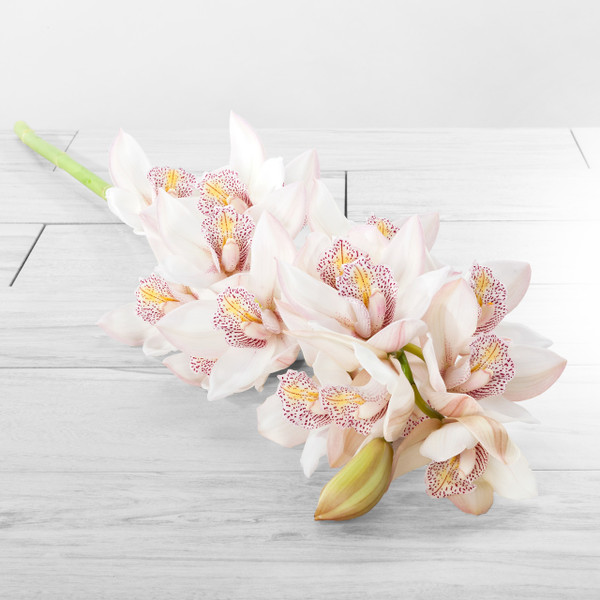 Cymbidium Stems Large blooms