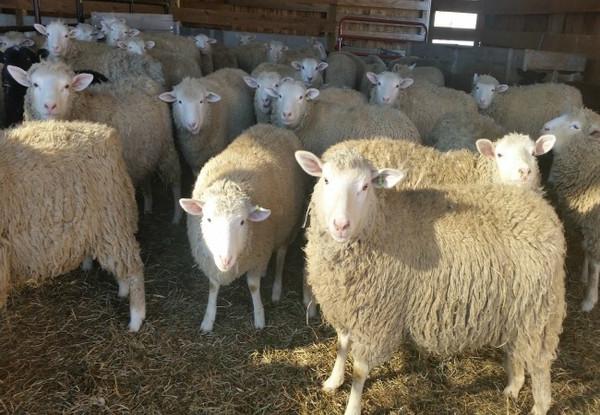 Lamb Udhaya/Qurbani