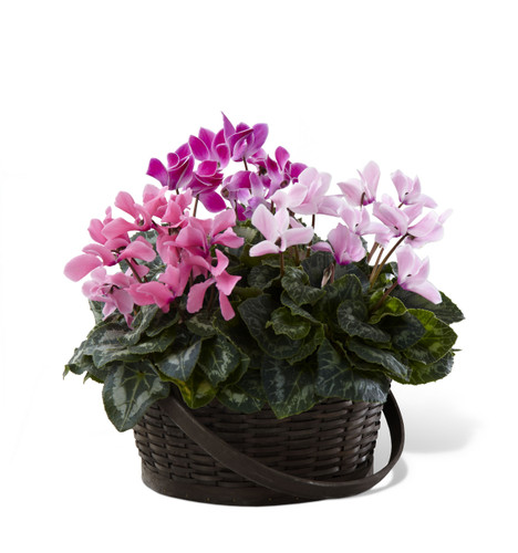 Mixed Cyclamen Planter