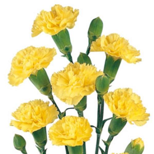Mini Carnations 10 Stem Bunch
