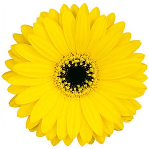 Mini Gerbera Daisy 12 Stem Minimum
