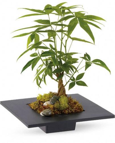 Money Tree Plant- Maple Grove
