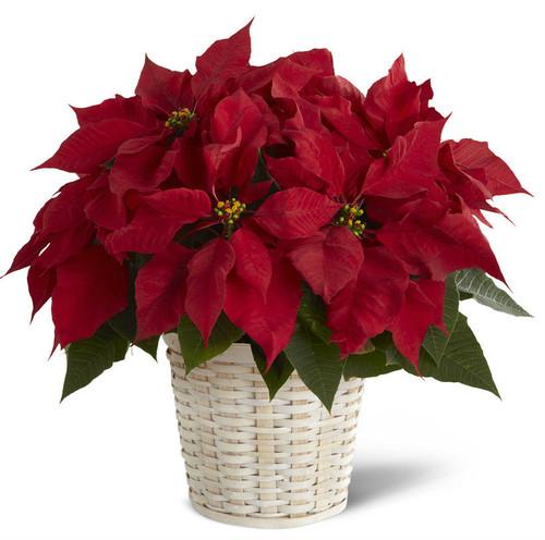 Single Red Poinsettia Basket