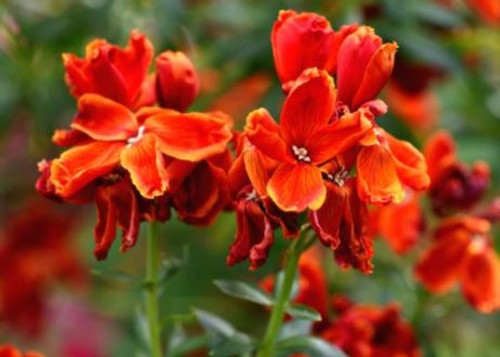 Wallflower's delightful fragrance and beauty makes wallflower a great addition to any flower arrangement.