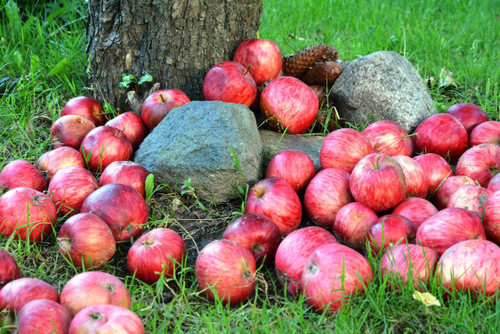 The sweet, juicy aroma of a ripe red apple. Prompting thoughts of autumn