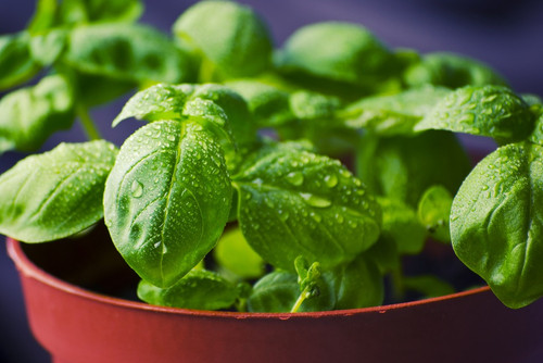The rich aroma of freshly cut basil. This green, pesto scent is perfect for re-creating the aura of many dishes.