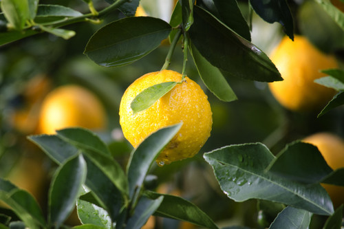 Mouth-wateringly juicy, a freshly squeezed lemon without the harshness.