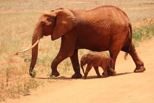 An earthy, musky aroma of elephant dung.