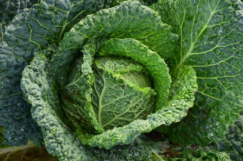 The pungent aroma of boiled cabbage. Appealing to some but certain to enlist a reaction from everyone!