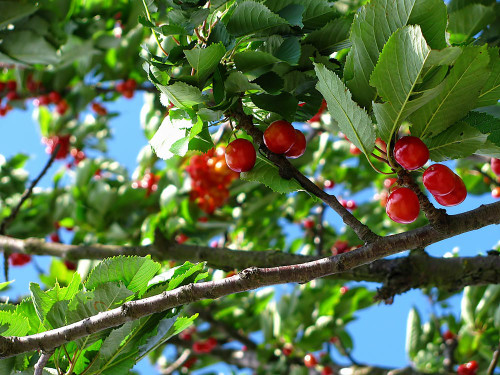The juicy and sweet aroma of freshly plucked cherries. An unmistakable, colourfully fruity scent.