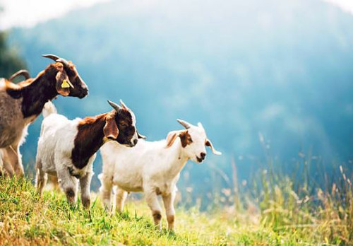 Goat Poo - Aroma Oil