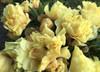 Bartzella Yellow Peony