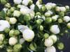 Duchesse de Nemours - Mid Season Blooming
