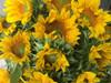 ProCut Yellow - 50 stems