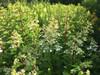 Lace Style (Paniculata)  - 50 Stems