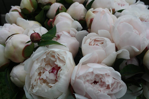 """White - Double - Early Season  Heirloom peony variety, popular for over 150 years, large globular flowers feature loosely arranged rose-form blooms of pure white, with a few crimson flecks that enhance display, very fragrant, very dependable, very vigorous grower. A standout in our fields and one of the fastest multiplying peony.  40""""  'Festiva' will open from blush tone for northern growers with cold winters."""