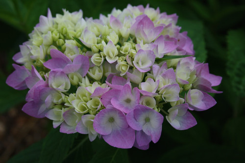 Re-Blooming Hydrangea (roots)
