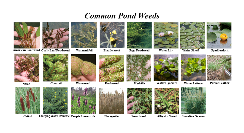 Aquatic Weed Guide Natural Waterscapes