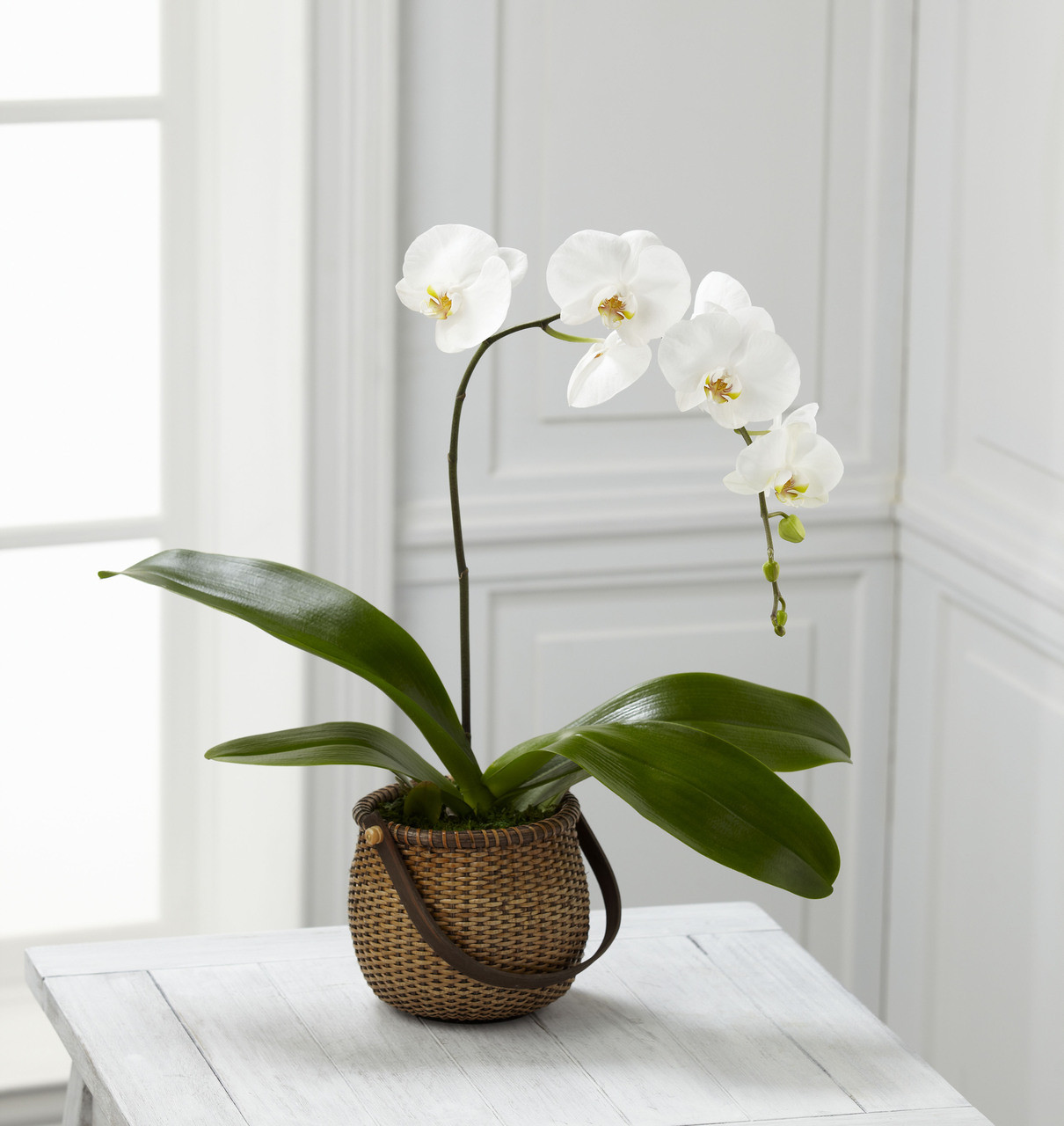 TheWhite Phalaenopsis Orchid