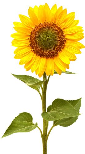 Small Sunflowers