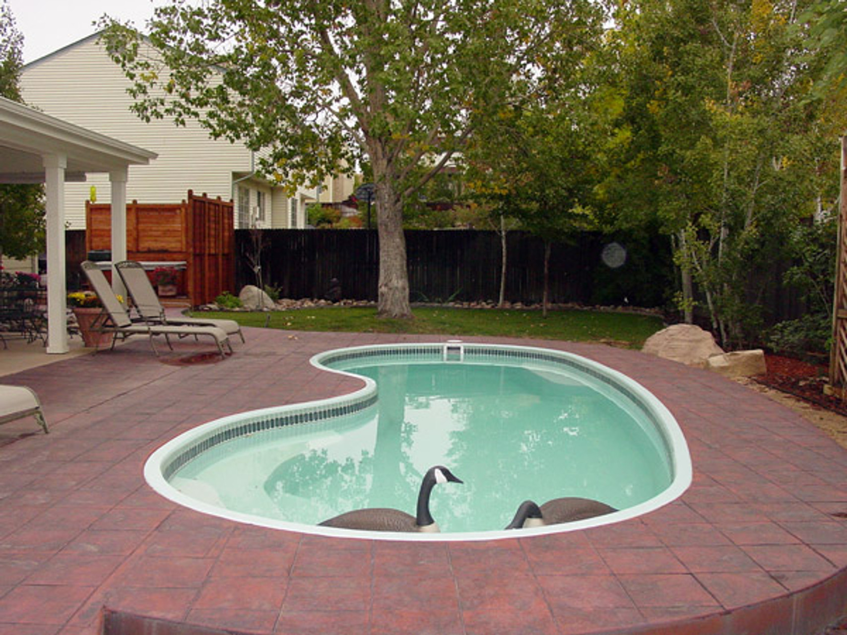 How to get rid of geese in backyard pools bird b gone inc - Duck repellent for swimming pools ...