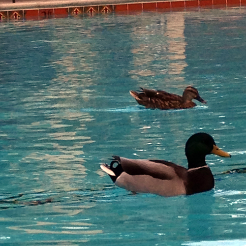 Backyard pool areas need bird control bird b gone inc for Duck repellent for swimming pools