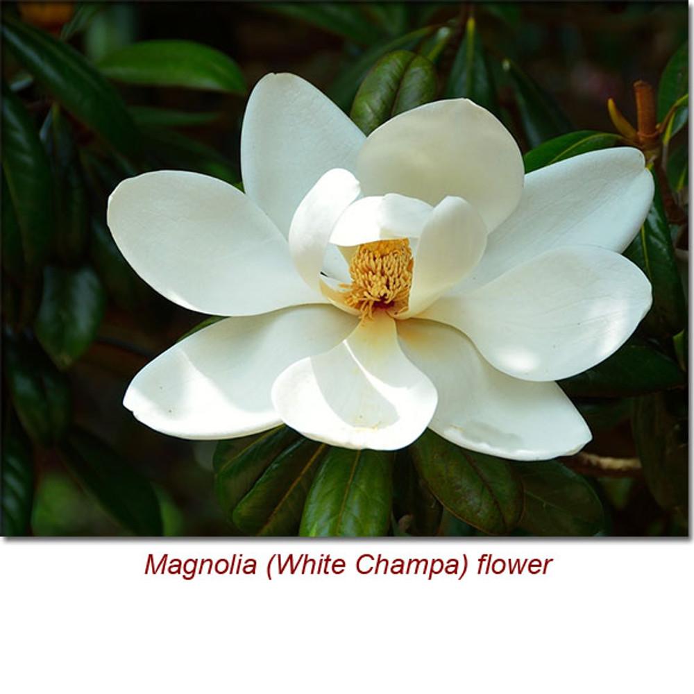 Magnolia wild crafted essential oil magnolia white champa flower wild crafted essential oil mightylinksfo
