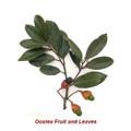 OCOTEA (Ishpink) Organic Essential Oil