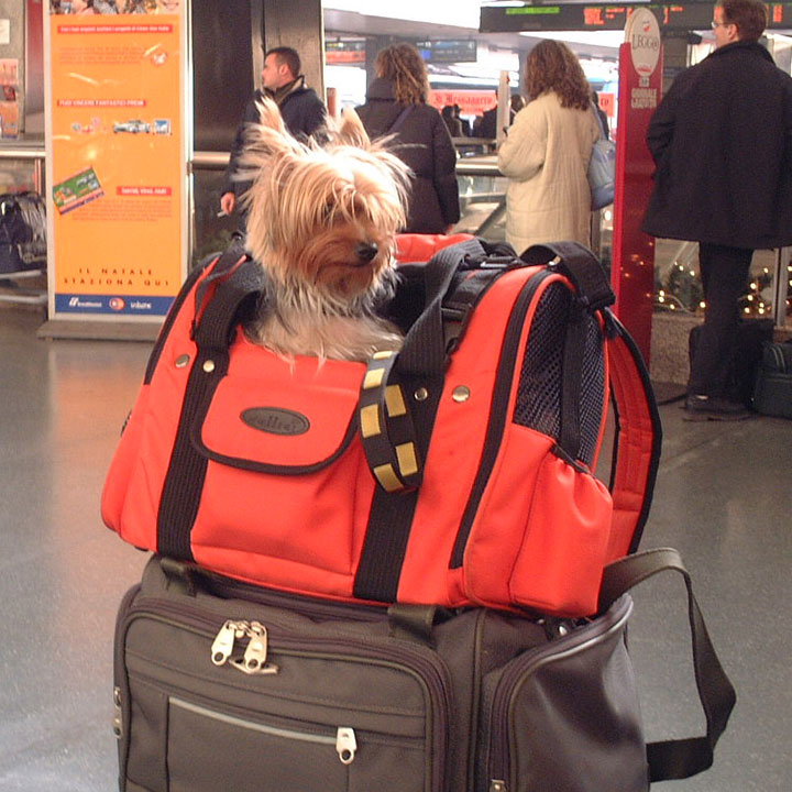 Dog travel by airplane; checking in for an international flight