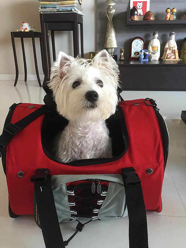 A happy Maltese Traveling around Singapore using Celltei Dog Backpack