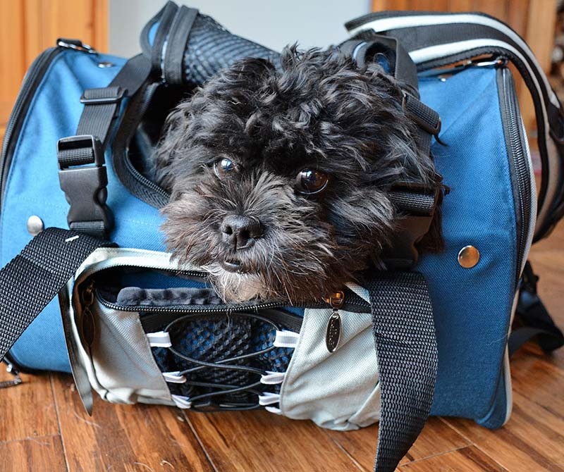 A medium size dog fitting his first Celltei Dog Backpack