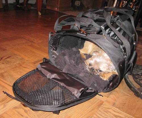 A Griffon hiding inside his Celltei Dog Backpack