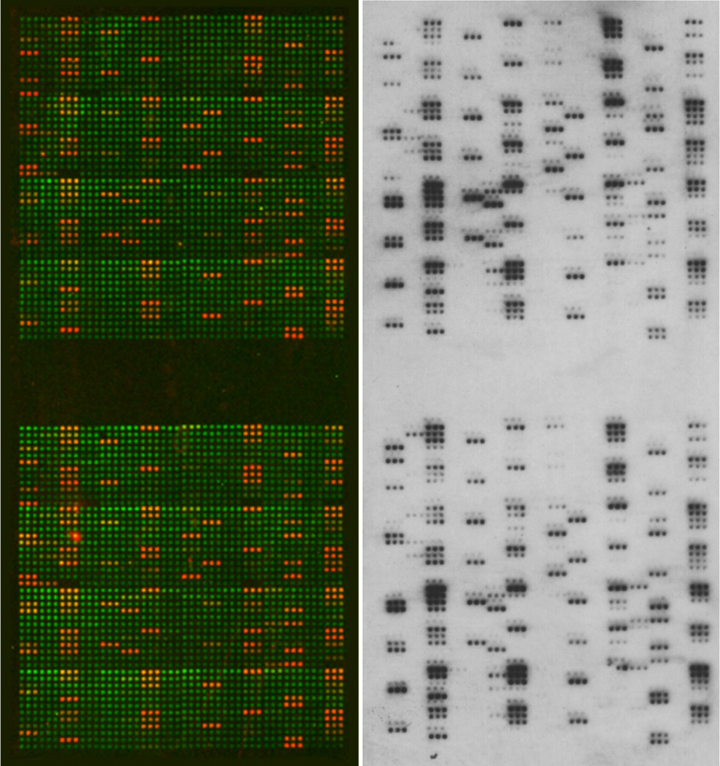 EpiTitan Histone Peptide Array K4me3 Antibody Data Fluorescence and ECL