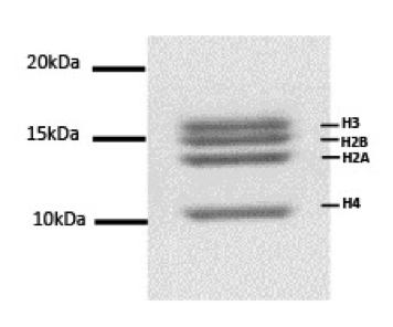 16-4111 DNA Gel