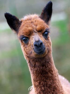 alpaca300x400.jpg