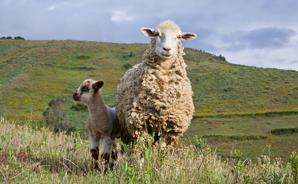 sheep-970x600.jpg
