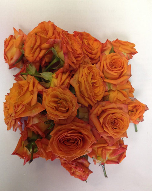 Orange Roses (upon Available)